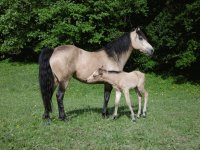 Mom connemara and foal Quarter pony