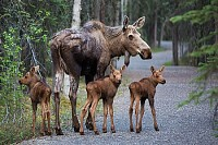 Momma moose and triplets