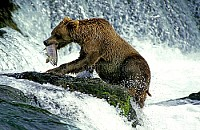 GRIZZLY BEAR ADULT FISHING SALMON, BROOKS FALLS IN