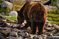 A boar grizzly bear in Yellowstone National Park,
