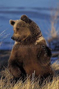GRIZZLY BEAR, ALASKA