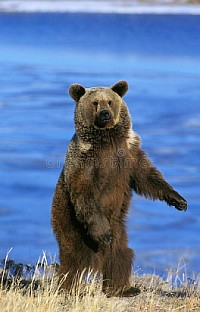 GRIZZLY BEAR STANDING ON HIND LEGS, ALASKA