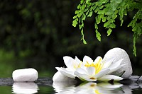 White stones and waterlily