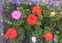Geraniums in Trough