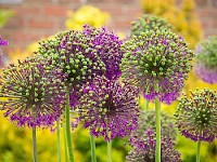 Purple allium in bloom
