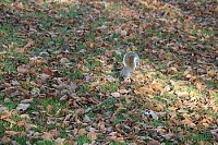 Squirrel in Hyde Park, London, UK
