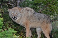Coyotes in Canada 01