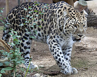 Leopardo dell  'amur