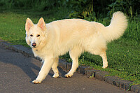 German shepherd white