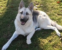 German shepherd white and silver