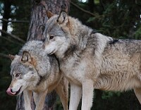 eastern timber wolfs