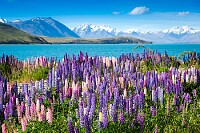 Lupine in New Zealand