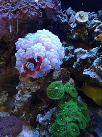 Clown fish and friends