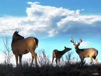 Whitetails in the Clouds