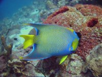 Angelfish Bonaire